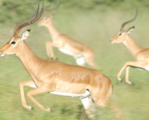 gazelle-1519710_1920